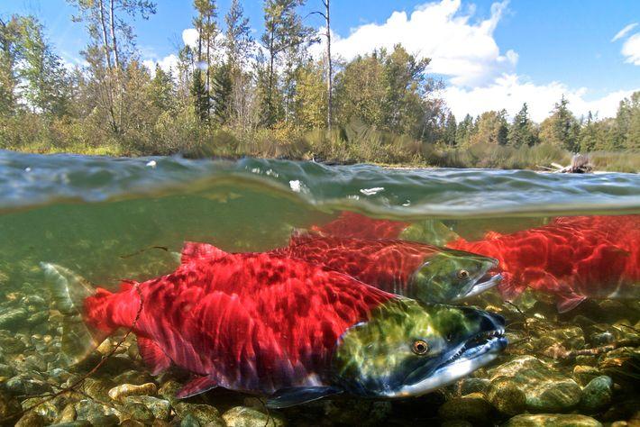 """Auf Vancouver Island liegen zwei der drei konkurrierenden """"Welthauptstädte der Lachsfischerei"""": Port Alberni und Campbell River. ..."""