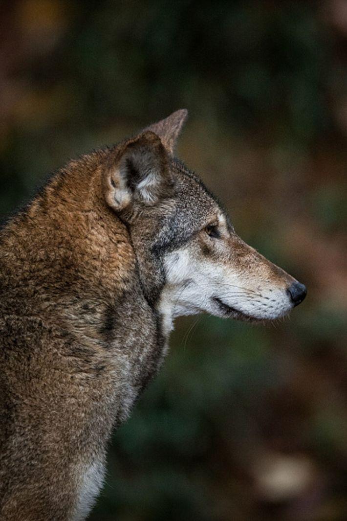 Rotwolf in North Carolina