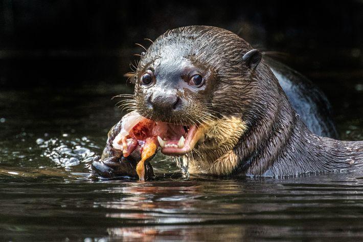 Der Riesenotter lebt in den langsam fließenden Flüssen, Seen und Sümpfen des Amazonasbeckens. Durch die Zerstörung ...