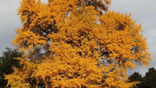 Ein Ginkgobaum im Herbst mit leuchtend gelben Blättern. Im Gegensatz zu den meisten Bäumen, die ihre ...