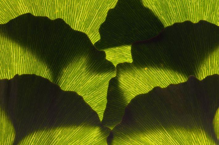 Ein Arrangement aus Ginkgoblättern, die hellgrün sind, bevor sie im Herbst einen leuchtenden Gelbton annehmen.