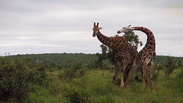 Sanfte Riesen? Auch Giraffen können brutale Kämpfe austragen