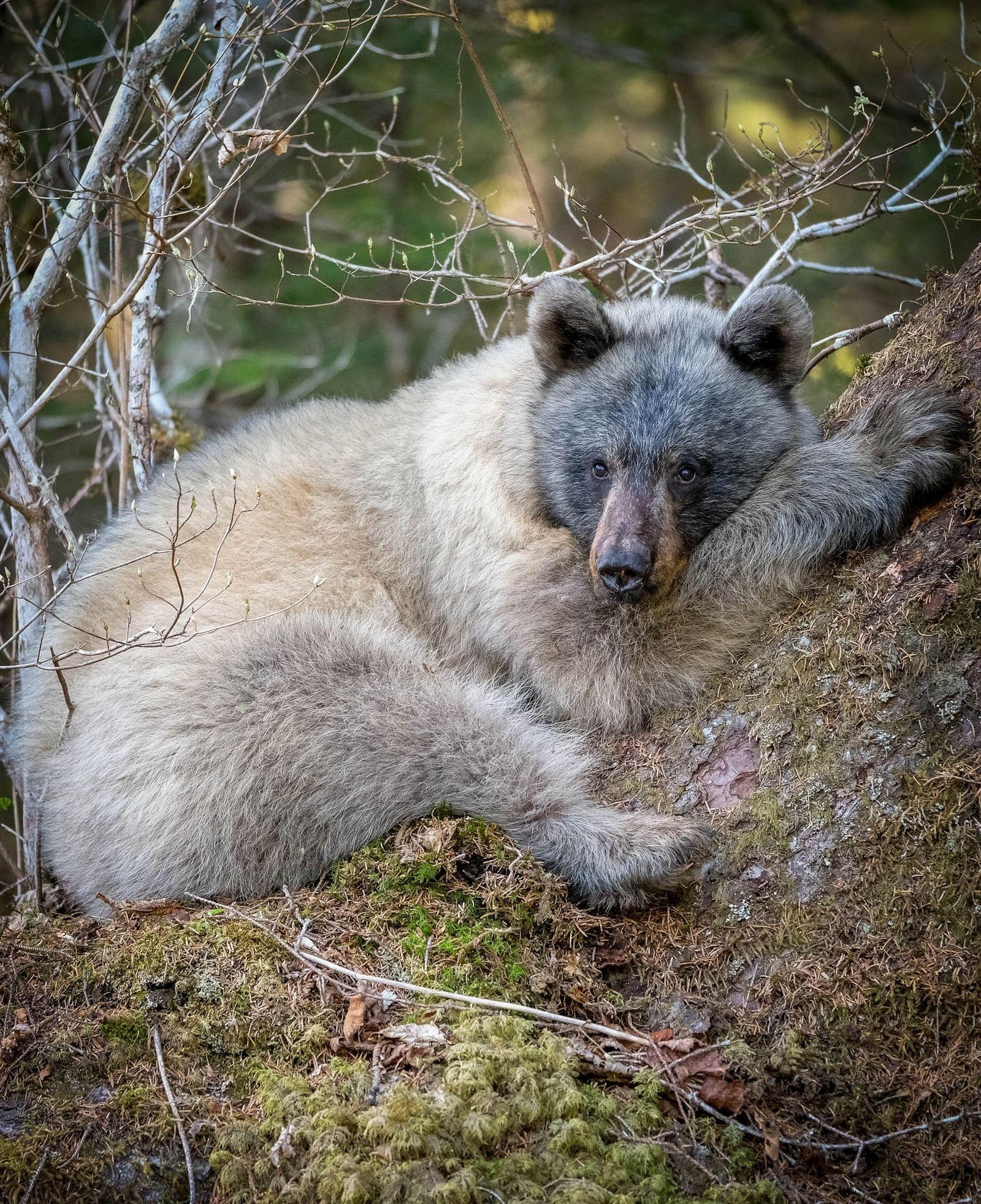 Alaskas blaue Bären blicken in eine ungewisse Zukunft
