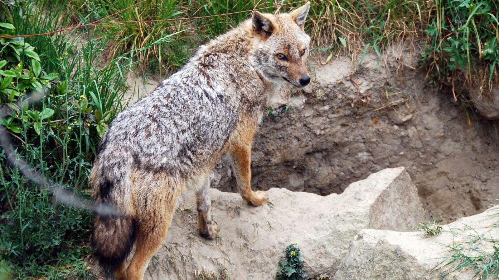 Scheuer Einwanderer aus südlichen Gefilden: Immer mehr Nachweise des Goldschakals belegen, dass sich der anpassungsfähige Wildhund ...