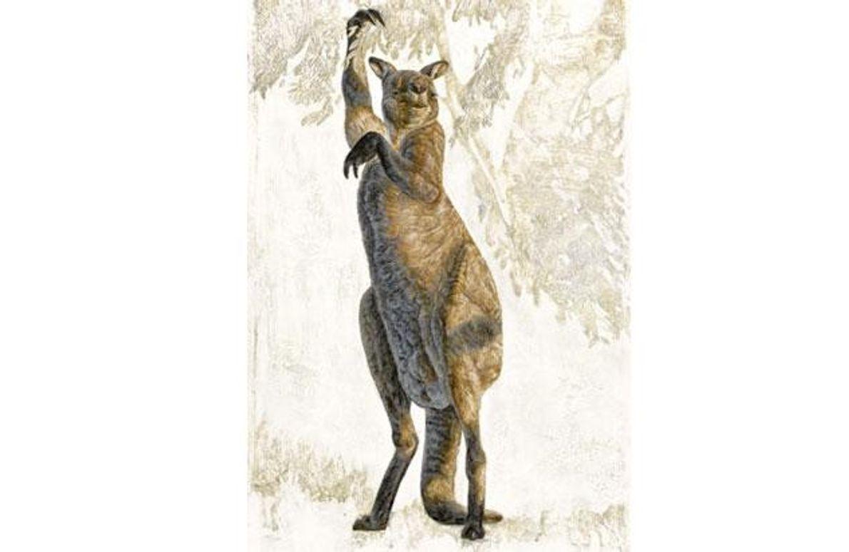 Goliathkänguru - Procoptodon goliah