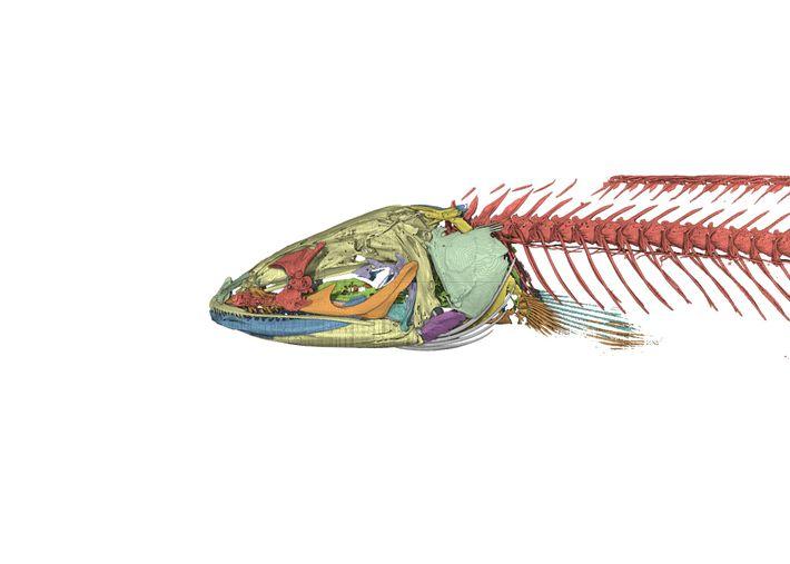 Ein computergerendertes Bild vom Skelett des Gollum-Schlangenkopffischs. Durch die Untersuchungen seiner Anatomie konnte gezeigt werden, dass ...