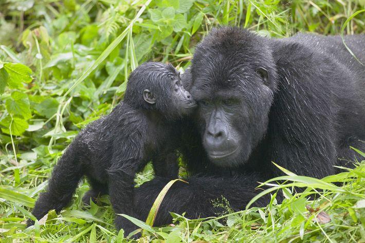 Im hohen Gras des Bwindi Impenetrable Forest National Parks in Uganda reibt ein junger Gorilla sein ...