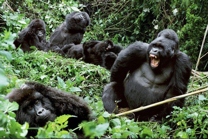 Ein Gorillamännchen zeigt im Mgahinga-Gorilla-Nationalpark in Uganda im Kreis seiner Familie seine Zähne.