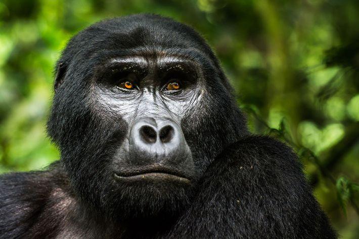 Berggorillas leben nur in den dichten Wäldern um die Virunga-Vulkankette in Ruanda, Uganda und der Demokratischen ...
