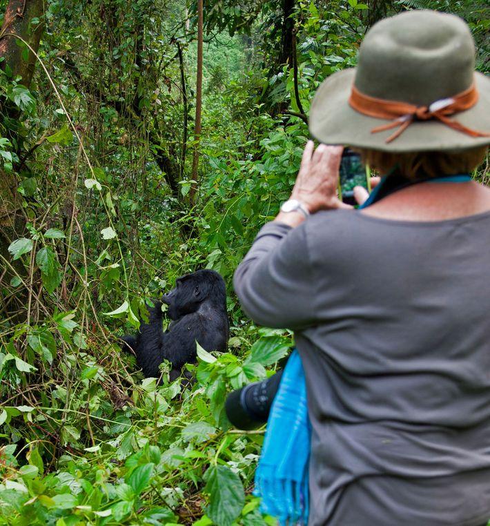 Ein Besucher fotografiert einen Berggorilla im Bwindi Impenetrable Forest National Park.