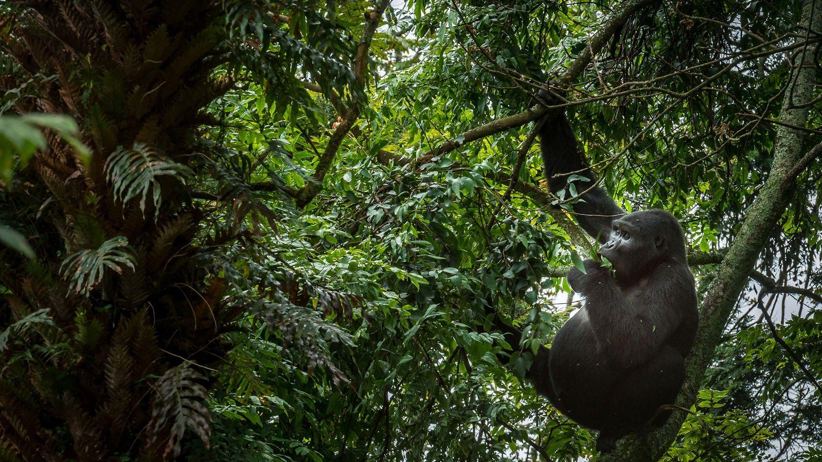 Ein Berggorilla frisst Blätter hoch oben in einem Baum.