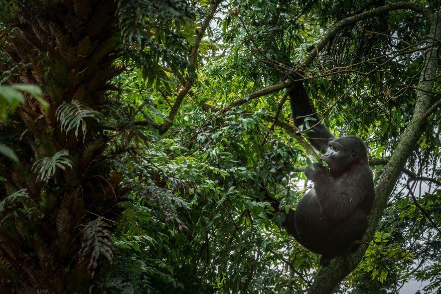 5 Gründe, um Gorillas in Uganda zu besuchen