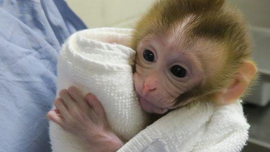 Erster Primat durch eingefrorenes Testikelgewebe geboren