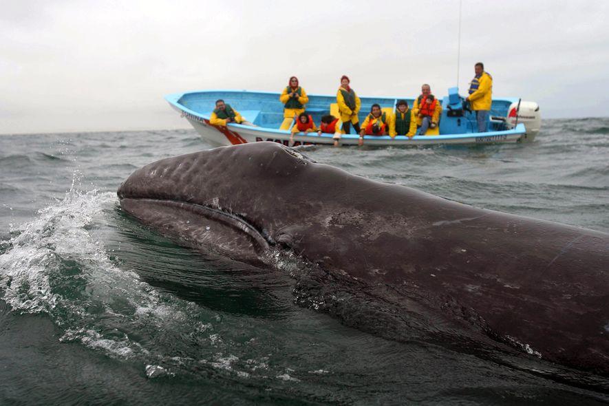 Jeden Winter ziehen Tausende Grauwale fast 10.000 Kilometer weit Richtung Süden, um sich in Baja California ...