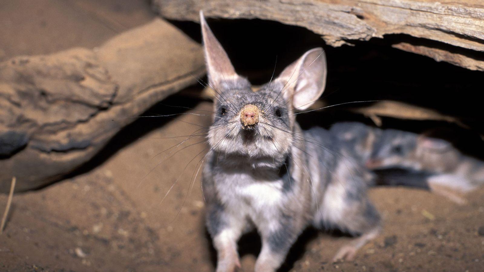 Großer Kaninchennasenbeutler