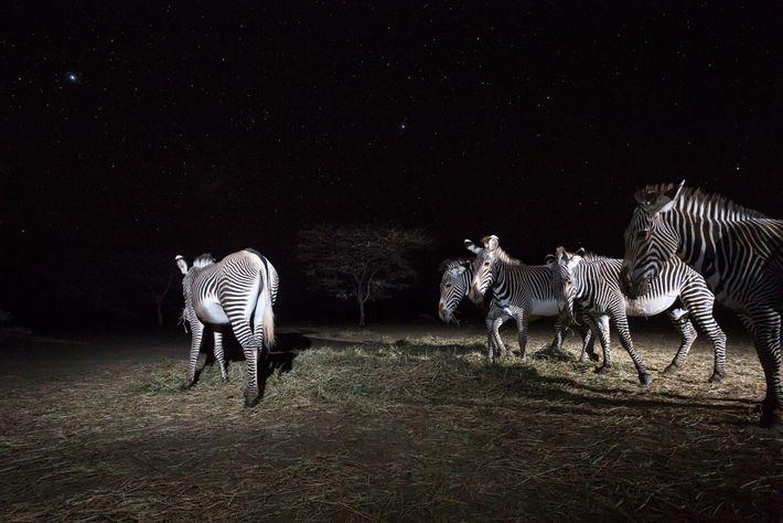 Grevyzebras fressen Heu, das der Grevy's Zebra Trust für sie ausgelegt hat. Die Dürre hat dem ...