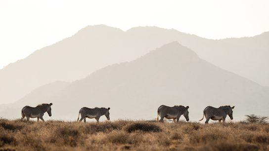 Die stark gefährdeten Grevyzebras streifen durch die Steppen im Norden Kenias. In freier Wildbahn gibt es ...