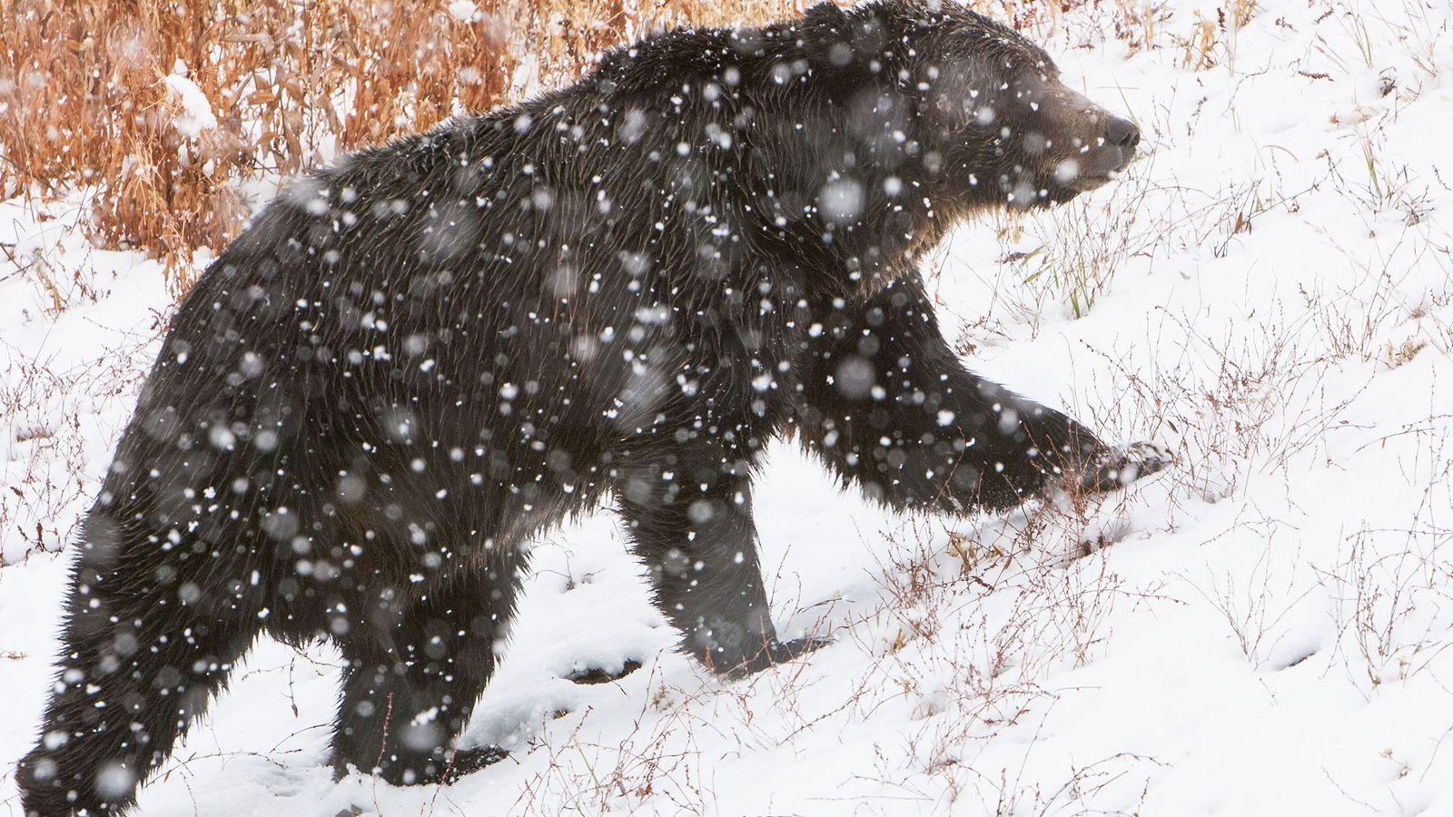 Der Grizzlybär zählt zu den bekanntesten Arten des Yellowstone-Nationalparks.
