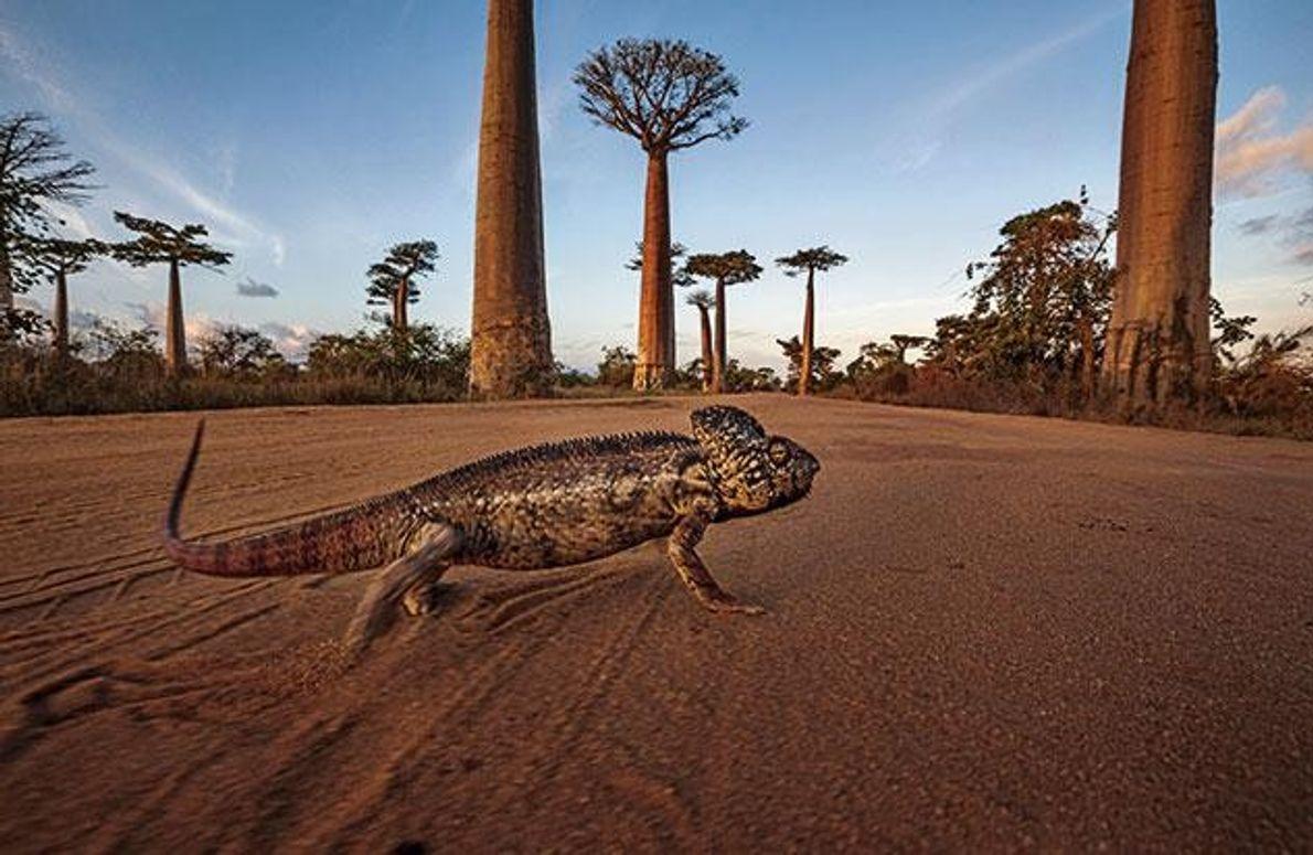 Ein Riesenchamäleon zwischen Baobab-Bäumen auf Madagaskar. Es kann knapp 70 Zentimeter lang werden. Andere Arten werden …