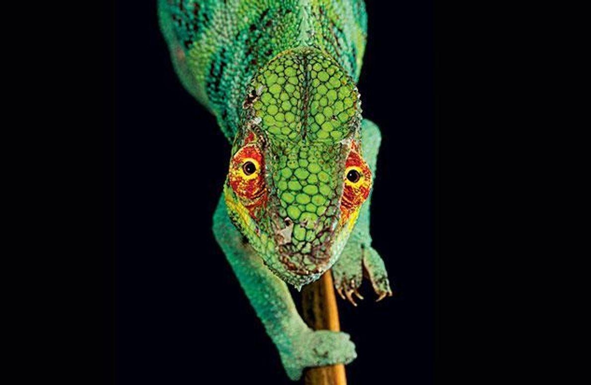 Von grün über gelb bis rot: Wie ein Kaleidoskop ändern die Pantherchamäleons ihren Hautton.