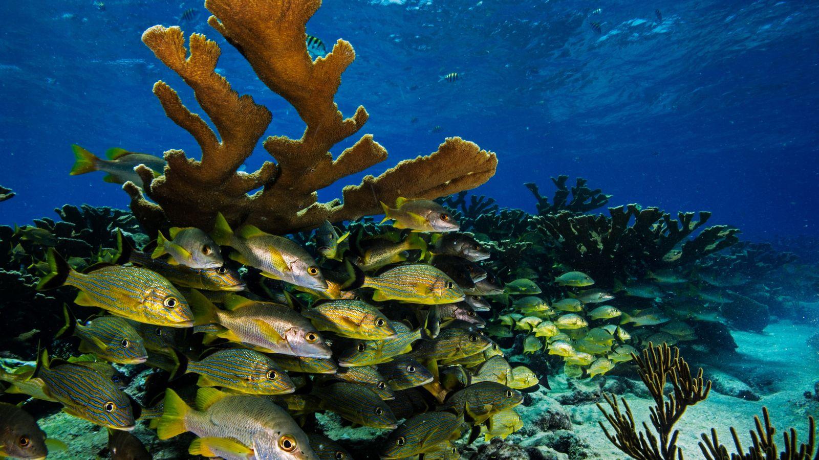 Schwärme von Blaustreifen-Grunzern und Schulmeister-Schnappern schwimmen zwischen den breiten Ästen von Elchgeweihkorallen hindurch. Diese Korallenart wächst ...