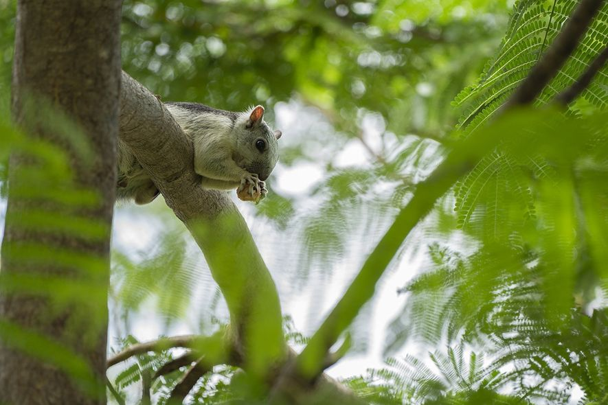 Das Bunthörnchen gehört zu der Gattung der Eichhörnchen, ist tagaktiv und lebt in Waldgebieten.
