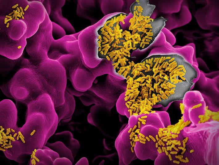 Escherichia coli – die gelben Stäbchen, die sich auf einem violetten Substrat tummeln – können Lebensmittelvergiftungen ...