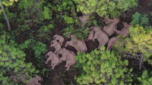 Unberechenbar: In China ist eine Herde Asiatischer Elefanten seit einem Jahr auf Wanderschaft