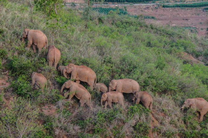 Die Elefantenherde, hier zu sehen in der Nähe von Yuxi im Juni 2021, hat durch die ...