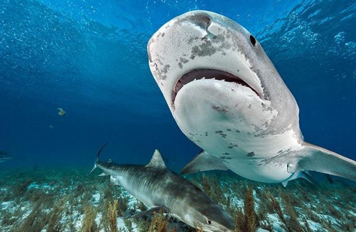 In den geschützten Gewässern der Bahamas sind Tigerhaie relativ sicher. Aber sie bleiben selten lange an …