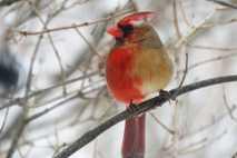 Kardinal, halb Männchen, halb Weibchen, Gyandromorphismus