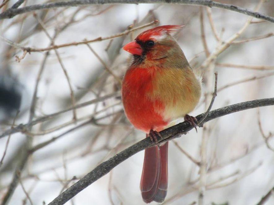 Seltener Kardinal ist halb Männchen, halb Weibchen