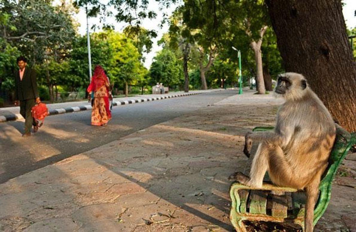 Im Mandor Garden, dem Park am Rand von Jodhpur, sitzt dieser Hanuman-Langur auf einer Bank und …