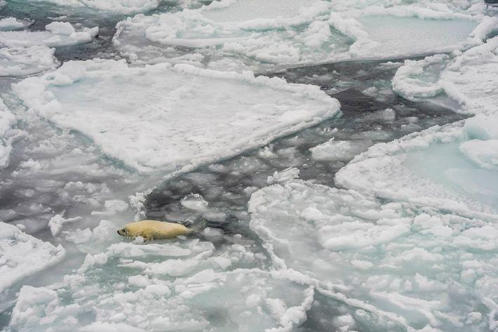 Eisscholle und junge Sattelrobbe
