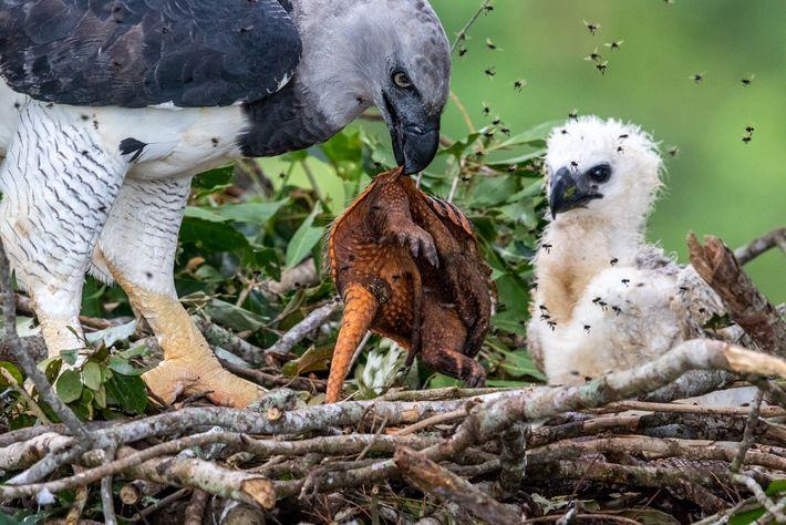 Im brasilianischen Amazonasgebiet versorgt eine Harpyie ihr hungriges Küken mit einem frisch getöteten Gürteltier. Seit dem ...