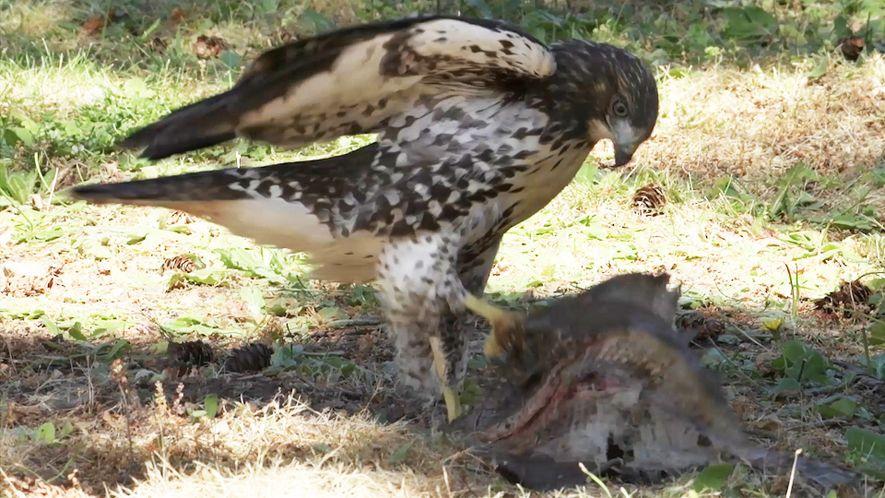 Junger Bussard hält sich für einen Adler