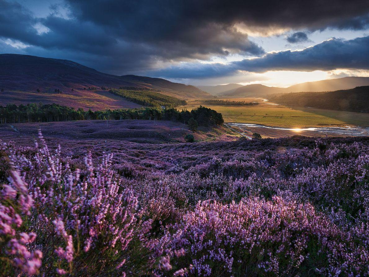 Heidekraut, Schottland