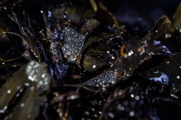 Stern-Seescheiden sind wirbellose Tiere, die in Kolonien leben, und in der medizinischen Forschung eingesetzt werden. Jeder ...