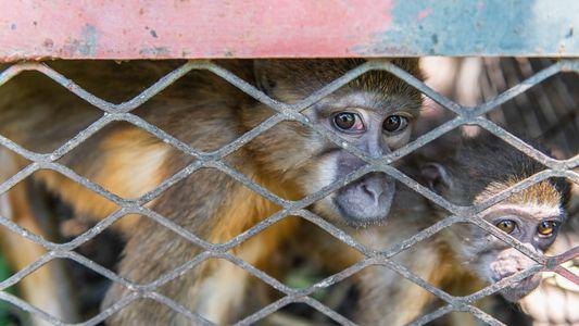 Rettung von 25 Affen bringt Licht in Afrikas Tierschmuggel-Netzwerk