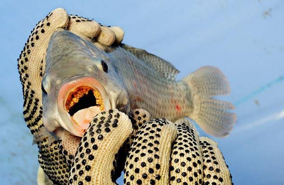 Hervorragender Zuchtfisch
