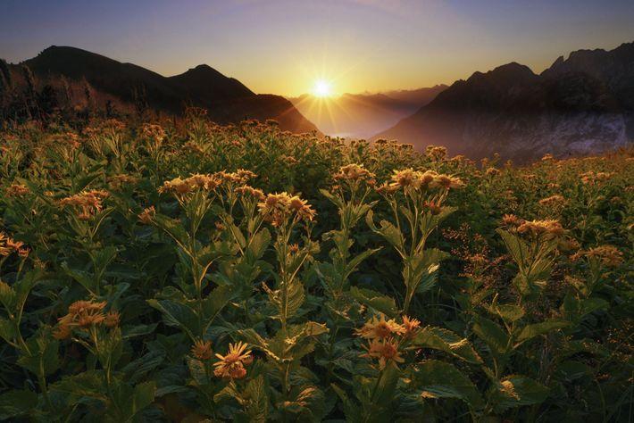 Sonnenaufgang über Blumenwiese