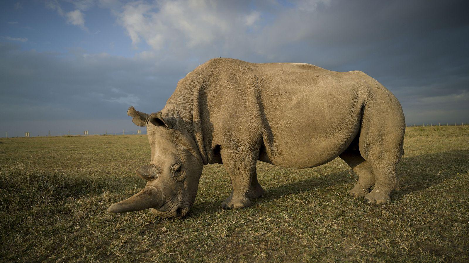 Najin, eins der beiden letzten Nördlichen Breitmaulnashörner, lebt im Ol Pejeta Schutzgebiet in Kenia. Thomas Hildebrandt ...