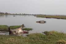 Tote Flusspferde