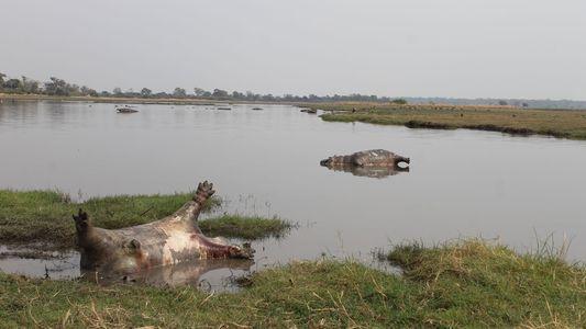 Milzbrand könnte 100 Flusspferde in Namibia getötet haben