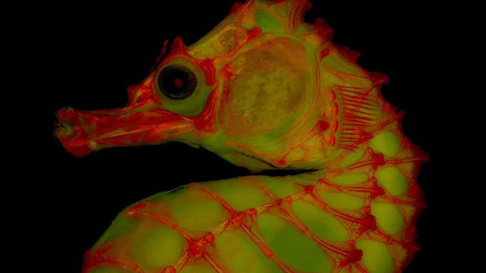 Ein Seepferdchen-Skelett, das in einer Glycerin-Gelatine-Matrix aufbewahrt wird, leuchtet unter Fluoreszenzlicht dank rotem Farbstoff.