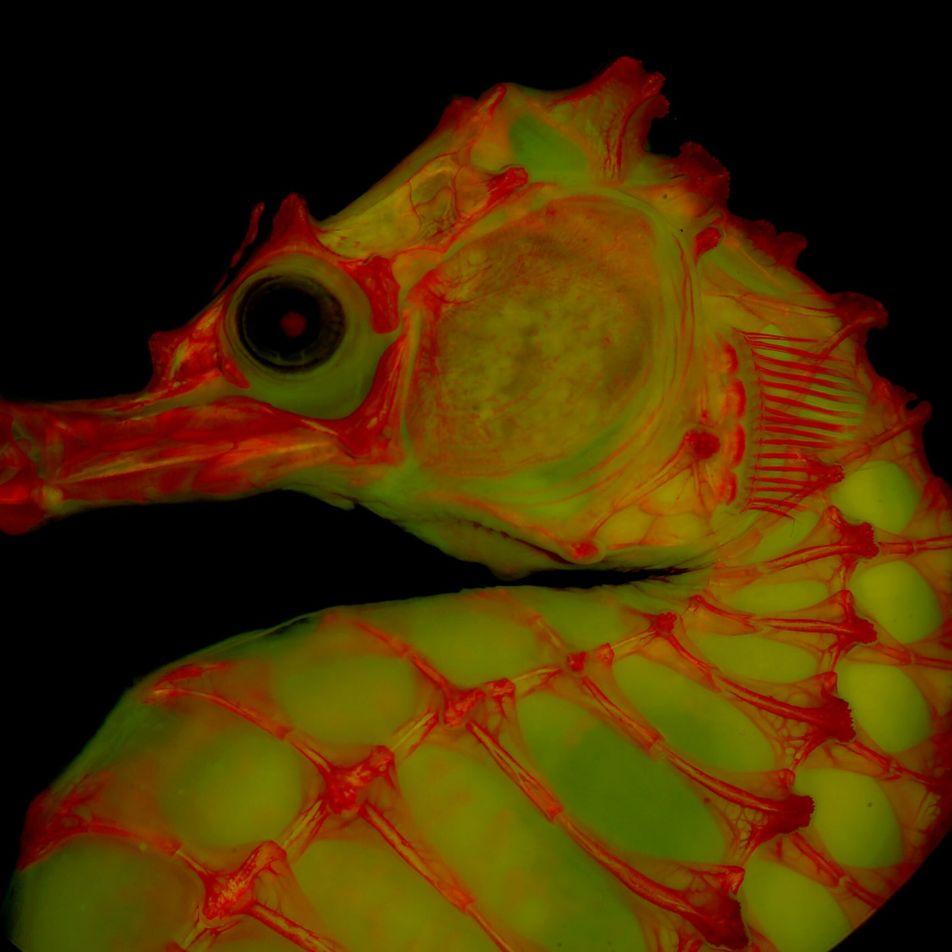 Skelettfotografien mit Gelatine und Farbe offenbaren ungeahnte Details