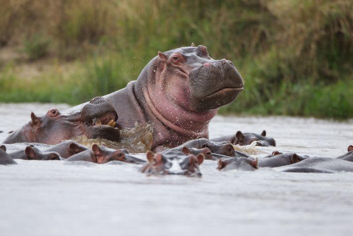 Flusspferde sind durch Wilderei und den Verlust ihres Lebensraumes bedroht. Sie sind auf große Süßwasservorkommen angewiesen, ...