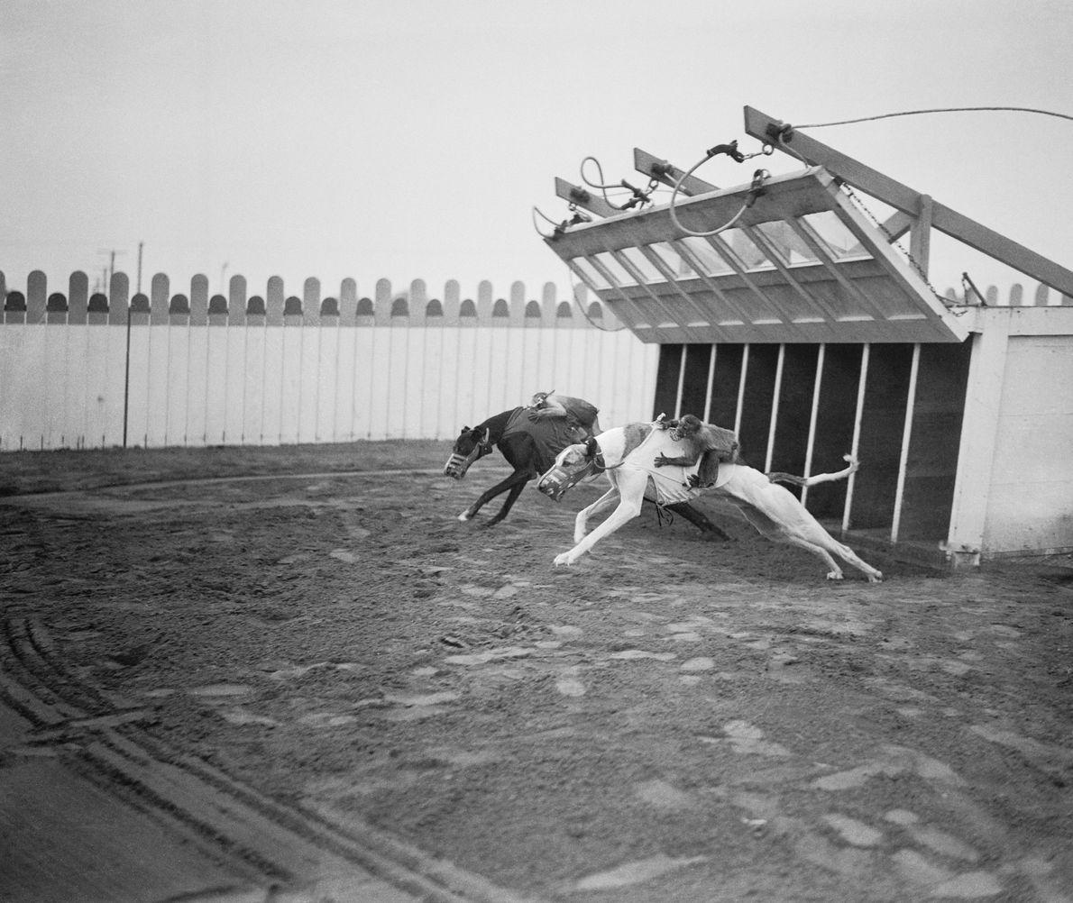 1932 reiten uniformierte Affen auf Windhunden um eine Rennbahn in Culver City, Kalifornien.