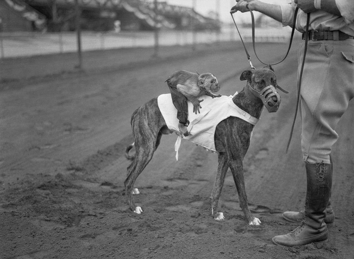 """In den 1920er und 1930er Jahren gab es auf einer Reihe von Rennbahnen """"Affen-Jockeys""""."""