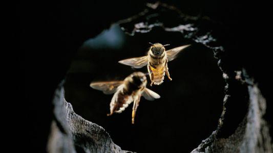 Ekelfaktor: Honigbienen wehren Riesenhornissen mit Werkzeug ab